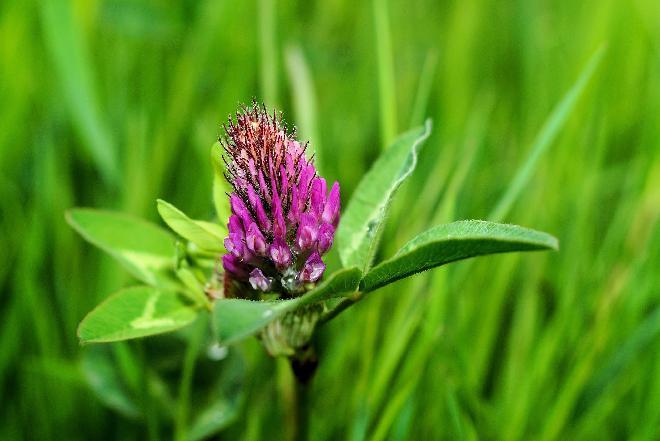 Sałatka z koniczyny? Jaki wpływ na zdrowie ma koniczyna łąkowa?